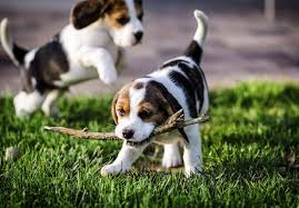 Image result for beagle puppies